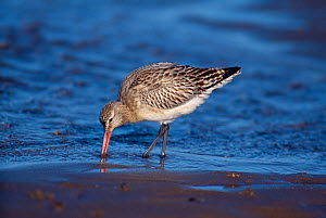 Bar-tailed godwit (Limosa lapponica) feeding on tidal mudflat, Firth of Forth, Scotland, UK, February - Laurie Campbell