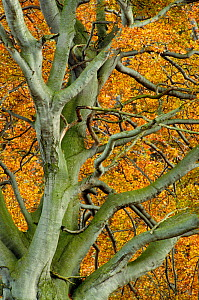 View up into Beech tree (Fagus sylvatica) in autumn, Berwickshire, Scotland, UK, October  -  Laurie Campbell