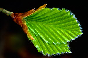 European Beech (Fagus sylvatica) young leaves emerging in spring, Berwickshire, Scotland, UK, May  -  Laurie Campbell