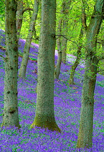 Bluebells (Hyacinthoides non-scripta) flowering in oakwood, Perthshire, Scotland, UK, May  -  Laurie Campbell