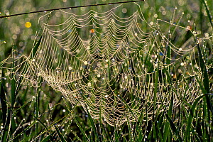 Dew on cobweb, Berwickshire, Scotland, UK, September - Laurie Campbell
