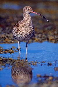 Curlew (Numenius arquata) on shore of sea loch, Isle of Mull, Scotland, UK, September - Laurie Campbell