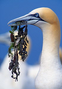 Northern gannet (Morus bassanus) gathering nesting material, Bass Rock, Firth of Forth, East Lothian, UK, July  -  Laurie Campbell