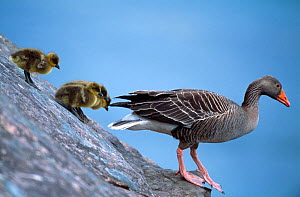 Greylag Goose (Anser anser) with goslings, Isle of Rum NNR, Inner Hebrides, Scotland, UK, June  -  Laurie Campbell