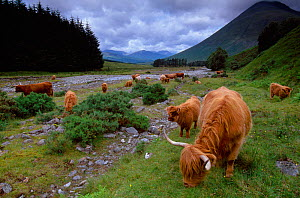 Highland Cattle (Bos tarus) herd grazing, West Highland Way, Tyndrum, Scotland, UK, August  -  Laurie Campbell