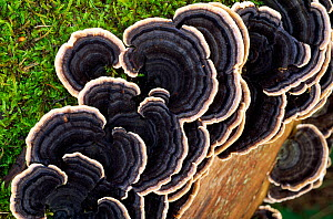 Many-zoned Polypore Fungus (Coriolus versicolor),  growing on dead Elm timber, Berwickshire, Scotland, November - Laurie Campbell