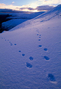 Mountain Hare (Lepus timidus) tracks in snow, Cairngorms National Park, Scotland, January - Laurie Campbell