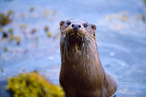 Female River otter (Lutra lutra) on sea loch, Torridon, Wester Ross, Scotland, July - Laurie Campbell