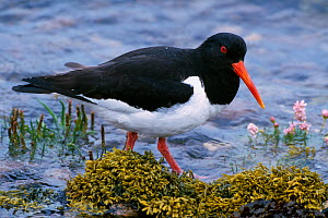 Oystercatcher (Haematopus ostralegus) foraging on shore, Loch Fleet NNR, Sutherland, Scotland, June - Laurie Campbell