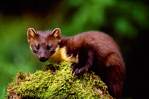 Pine Marten (Martes martes) Argyll, Scotland, May  -  Laurie Campbell
