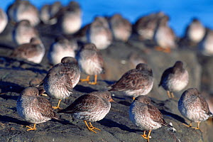 Purple Sandpiper (Calidris maritima) flock roosting at high tide, North Northumberland, England, November  -  Laurie Campbell