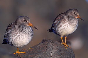 Purple Sandpipers (Calidris maritima) resting at high tide, North Northumberland, England, November  -  Laurie Campbell