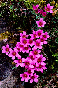 Purple Saxifrage (Saxifraga oppositifolia) in flower, Ben Lawers, Tayside, Scotland, February  -  Laurie Campbell
