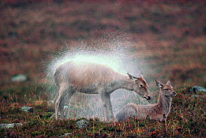 Red Deer (Cervus elaphus) hind shaking raindrops from coat, Deeside, Scotland, October  -  Laurie Campbell