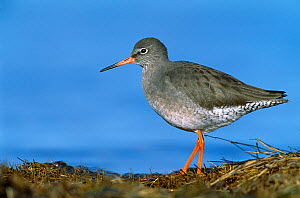 Redshank (Tringa totanus) on shore, North Northumberland, England, December  -  Laurie Campbell