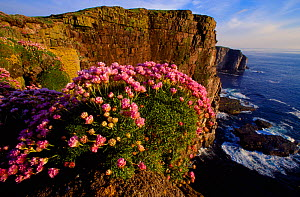 Sea Thrift (Armeria maritima) flowering on cliff, Handa Island, Sutherland, Scotland, June  -  Laurie Campbell