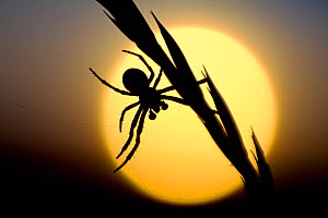 Silhouette of spider at sunset, Berwickshire, Scotland, August  -  Laurie Campbell