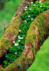 Wood Sorrel (Oxalis acetosella) growing on Oak tree, Argyll, Scotland, April - Laurie  Campbell