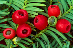 Yew berries (Taxus baccata) Berwickshire, Scotland, September - Laurie Campbell