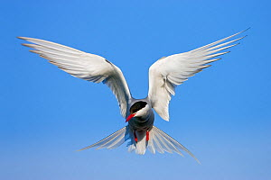 Arctic Tern (Sterna paradisaea) in flight over nesting colony, Isle of May, Firth of Forth, Fife, Scotland - Guy Edwardes