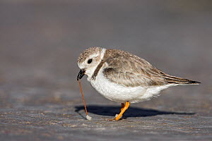 Piping plover (Charadrius melodus) pulling prey from sand, Fort De Soto, Florida, USA, March  -  Guy Edwardes