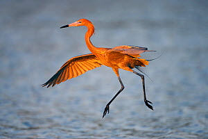 Reddish egret (Egretta rufescens) in flight over water, Little Estreo Lagoon, Fort Myers Beach, Florida, USA, March - Guy Edwardes