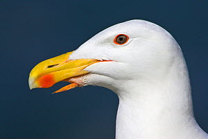 Great black-backed gull (Larus marinus) portrait, with deformity (tongue punctured throat but bird remains healthy and feeding chicks) Great Saltee, Co. Wexford, Ireland, June - Guy Edwardes