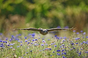 Common buzzrad (Buteo buteo) in flight over wildflower meadow (controlled situation) Gloucestershire, England, September - Guy Edwardes