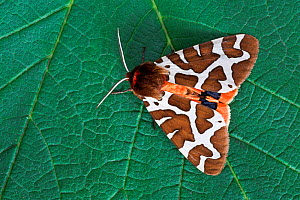 Garden tiger moth (Arctia caja) on leaf, Uplyme, Devon, England, July - Guy Edwardes