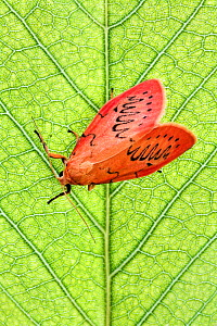 Rosy footman moth (Miltochrista miniata) on leaf, Uplyme, Devon, England, July - Guy Edwardes