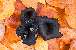 Horn of plenty / Black chanterelle (Craterellus cornucopioides) growing amongst fallen leaves, Bolderwood, New Forest National Park, Hampshire, England, October  -  Guy Edwardes