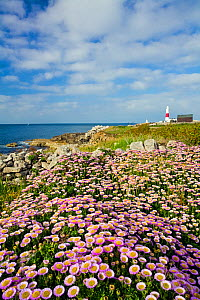Flowering Fleabane (Erigeron glaucus) with Portland Bill Lighthouse in the distance, Isle of Portland, Dorset, England, June 2006  -  Guy Edwardes