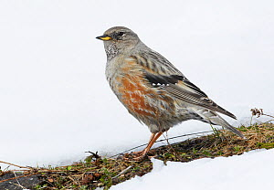Alpine accentor (Prunella collaris) perched on first bare patch of grass in snow, Spain, March  -  Markus Varesvuo