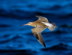 Bar-tailed godwit (Limosa lapponica) in flight over water, Hanko, Finland, September  -  Markus Varesvuo