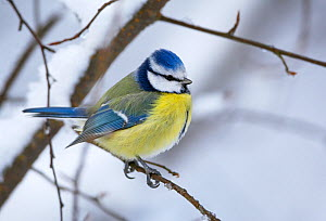 Blue tit (Parus caereleus) perched in snow, Kotka, Finland, January  -  Markus Varesvuo