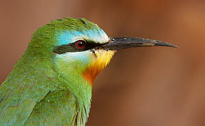 Blue-cheeked bee-eater (Merops persicus) Israel, May  -  Markus Varesvuo