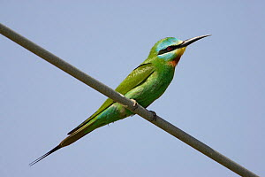 Blue-cheeked bee-eater (Merops persicus) perched on wire, Sultanate of Oman, March  -  Markus Varesvuo