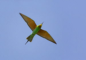 Blue-cheeked bee-eater (Merops persicus) in flight, Sultanate of Oman, March  -  Markus Varesvuo