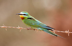 Blue-cheeked bee-eater (Merops persicus) perched on wire, Israel, May  -  Markus Varesvuo