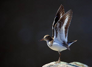 Common sandpiper (Actitis hypoleucos) flapping wings, calling, Ristiina, Finland, May  -  Markus Varesvuo