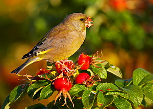 Greenfinch (Carduelis chloris) feeding on rose hips, Porvoo, Finland, October. Magic Moments book plate. - Markus Varesvuo