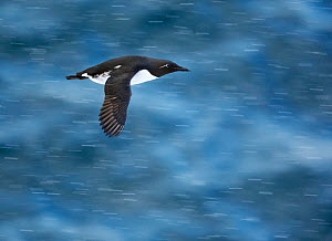 Guillemot (Uria aalge) in flight over water, Norway, July - Markus Varesvuo