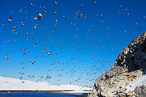 Guillemot (Uria aalge) flock in flight over nesting colony on rocks, Norway, July 2008 - Markus Varesvuo