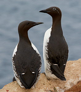 Two Guillemots (Uria aalge) on cliff top, Norway, July - Markus Varesvuo