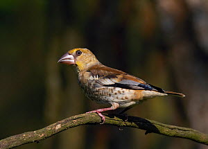 Hawfinch (Coccothraustes coccothraustes) on branch, Hungary, July  -  Markus Varesvuo