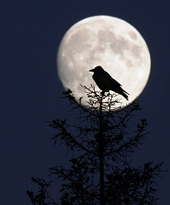 Silhouette of Hooded Crow (Corvus cornix) against full moon, Helsinki, Finland, December  -  Markus Varesvuo
