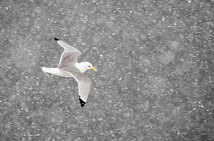 Kittiwake (Rissa tridactylus) flying through snow, Norway, April. Magic Moments book plate.  -  Markus Varesvuo