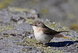 Lesser Whitethroat (Sylvia curruca) perched on ground, Porvoo, Finland, May  -  Markus Varesvuo