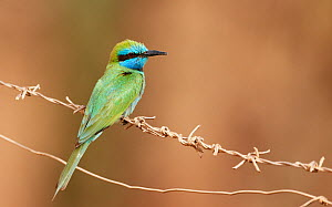 Little Green Bee-eater (Merops orientalis) perched on wire, Israel, May  -  Markus Varesvuo