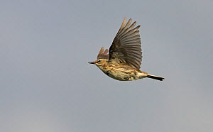 Rock Pipit (Anthus petrosus) in flight, Porvoo Finland  -  Markus Varesvuo